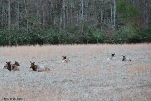 Elk in the Cataloochee Valley area