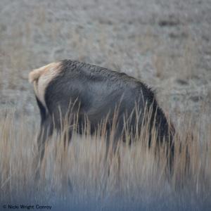 An individual elk